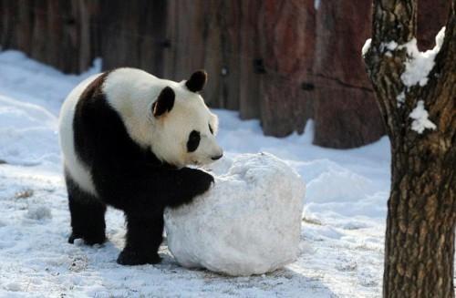 Γιγάντια πάντα βλέπουν για πρώτη φορά στη ζωή τους χιόνι και το παιχνίδι που κάνουν είναι απoλαυστικό