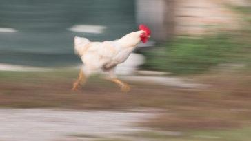 Ανέκδοτο: Οι κότες... turbo!