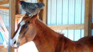 Το ανέκδοτο της ημέρας: Η επιτροπή, η κότα και το άλογο…