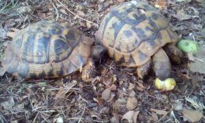 Ανέκδοτο: Τράκαραν δύο χελώνες…